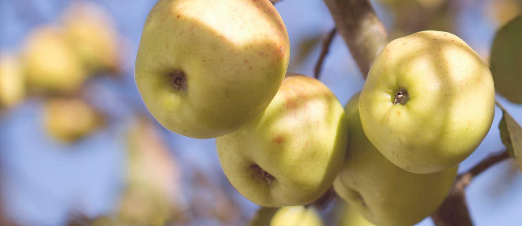 Gebackenene Apfel- Nougatknödel mit Apfelmostsabayon